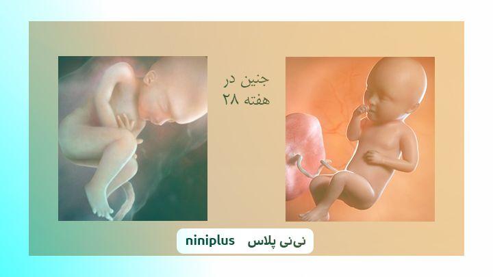 عکس جنین در هفته بیست و هشتم بارداری تصویر و اندازه جنین