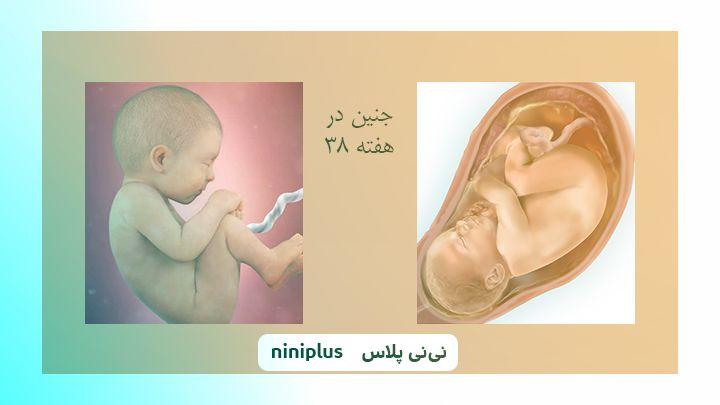 عکس جنین در هفته سی و هشتم بارداری تصویر و اندازه جنین